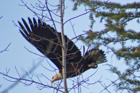 Eagle Richmond