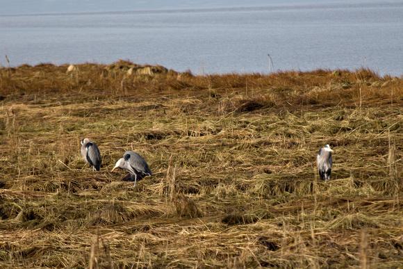 Herons nesting Richmond